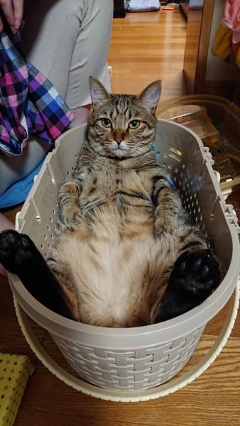猫 キジトラ レオくんの写真