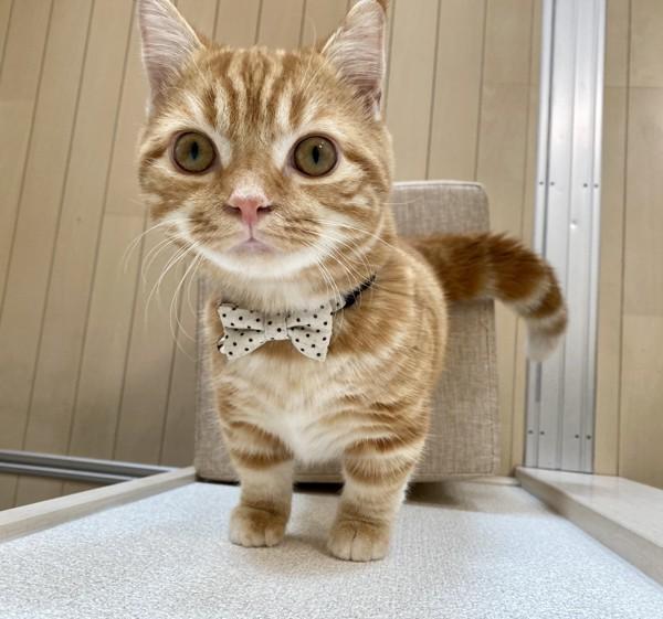 猫 マンチカン トムの写真