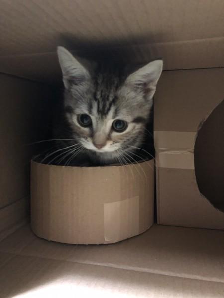 猫 アメリカンショートヘア チコの写真