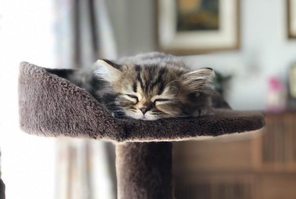 猫 スコティッシュフォールド アナスタシアの写真
