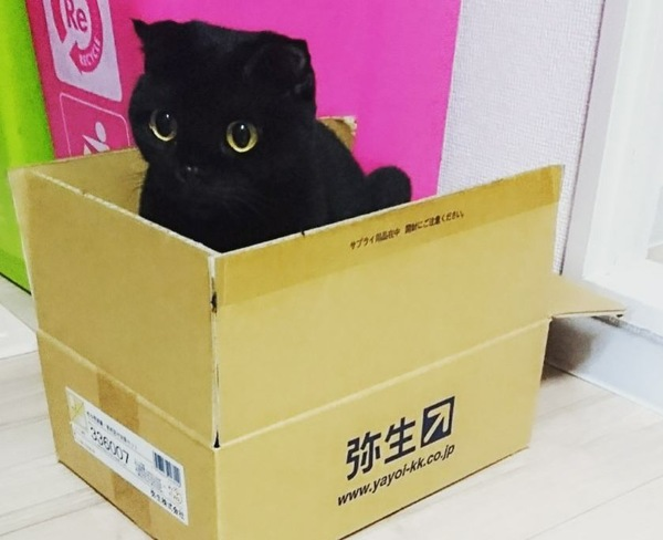 猫 スコティッシュフォールド ねるちゃんの写真