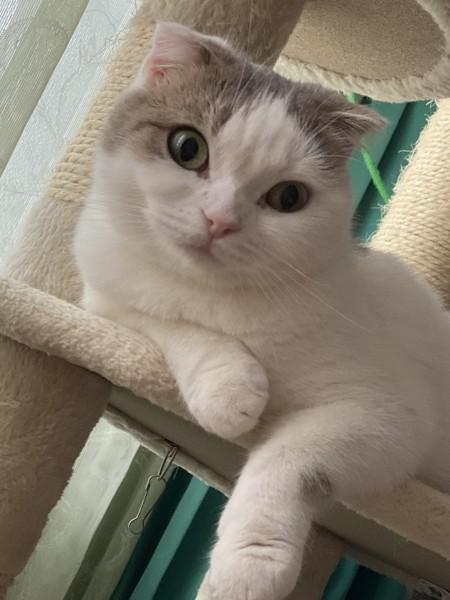 猫 スコティッシュフォールド 定春の写真