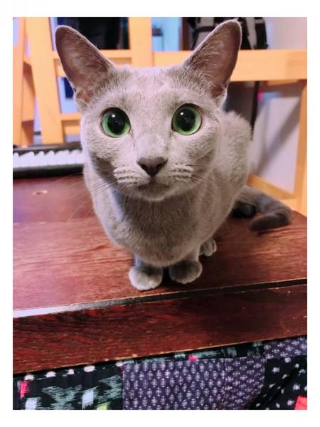 猫 ロシアンブルー 🐈ペグリンの写真