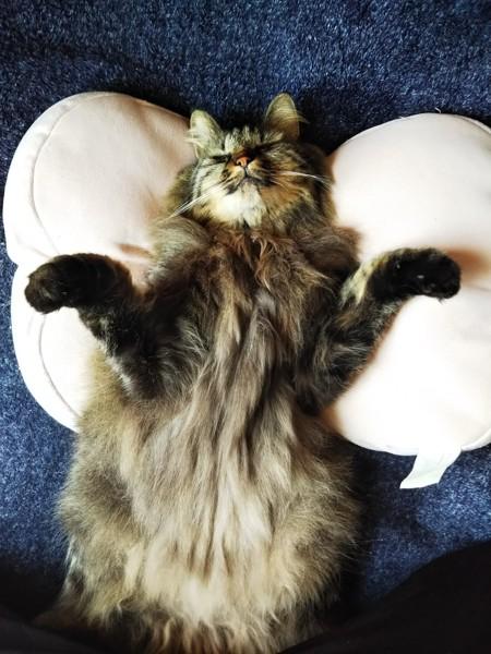 猫 雑種(ミックス) ぽんの写真