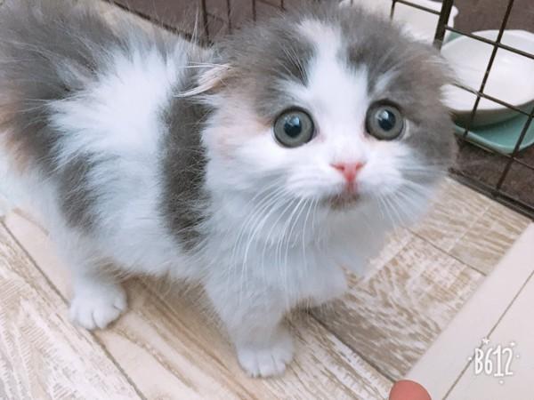 猫 スコティッシュフォールド ぱんだの写真