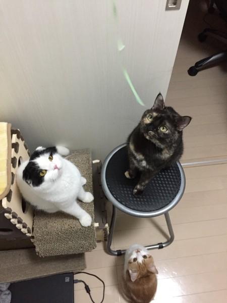 猫 スコティッシュフォールド みる、ぷーち、ちびの写真