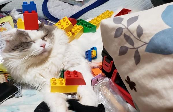 猫 スコティッシュフォールド ソルくんの写真