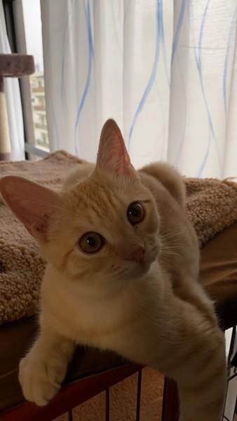 猫 マンチカン ルナの写真