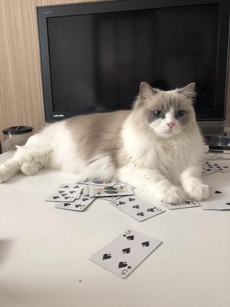 猫 ラグドール Adele(アデル)の写真