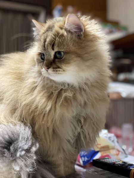 猫 ペルシャ たいがの写真