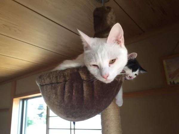 猫 雑種(ミックス) ソラとレオの写真