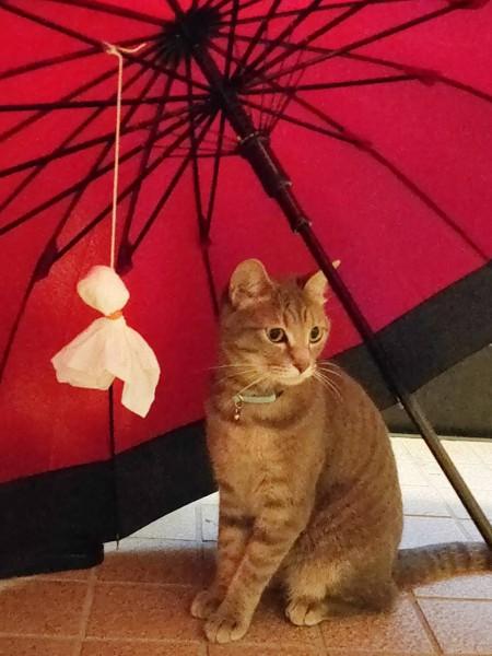 猫 サバトラ 音夢(ねむ)の写真