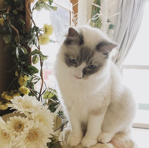 猫 ラグドール れおんの写真