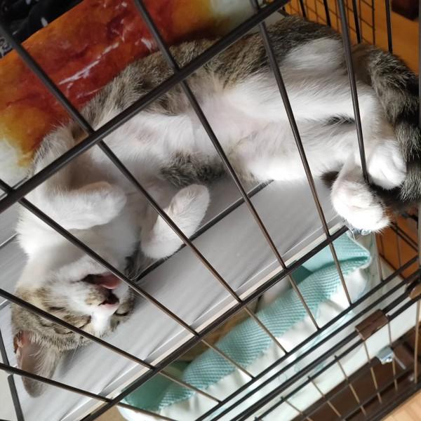 猫 サバシロ れんちゃんの写真