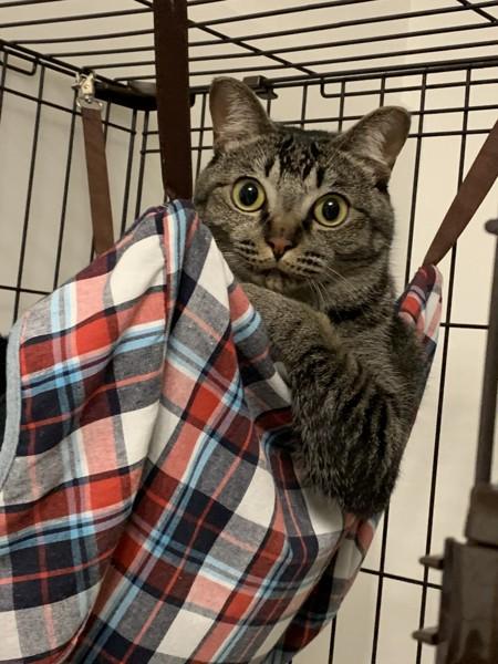 猫 キジトラ しるびの写真