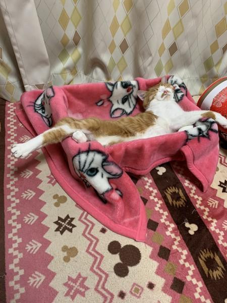 猫 茶トラ ラムの写真