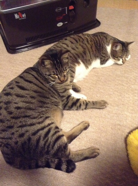 猫 キジトラ ニャッホ モネの写真