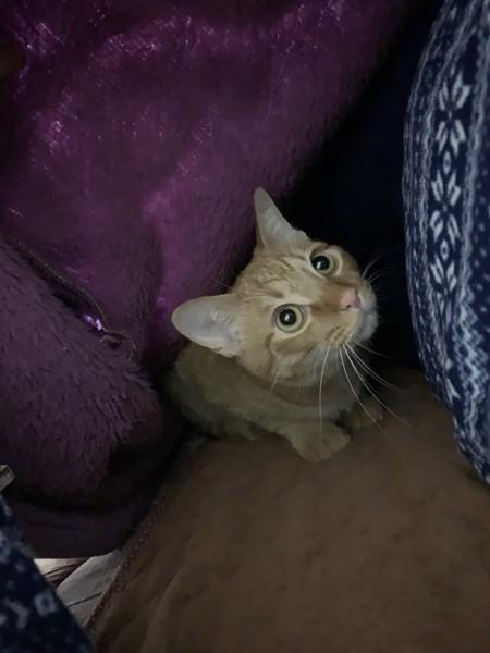 猫 茶トラ ココの写真