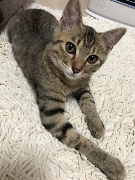 猫 キジトラ べガの写真