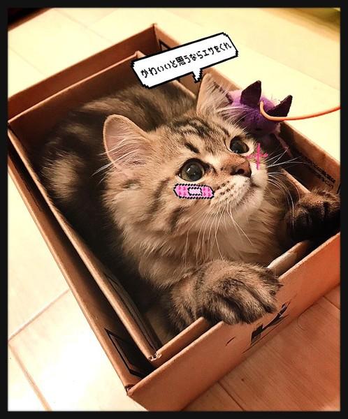 猫 ミヌエット 豆蔵の写真