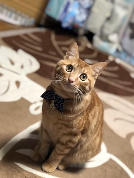 猫 雑種(ミックス) チャチャの写真