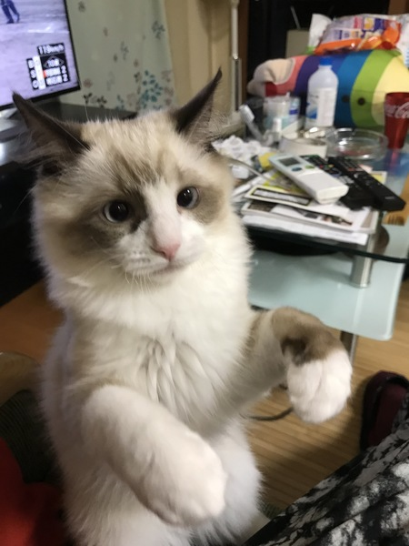 猫 ラグドール ウリの写真