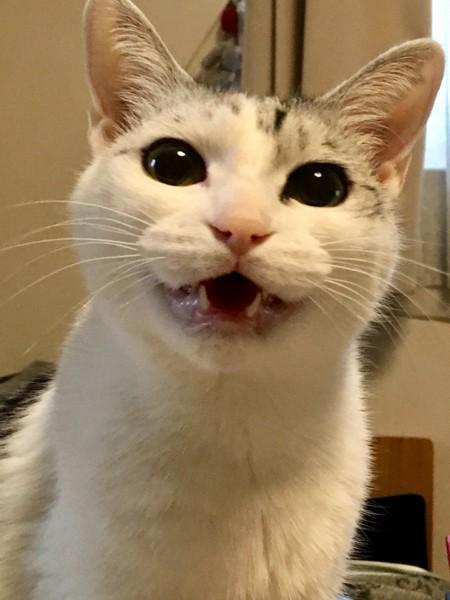 猫 雑種(ミックス) もーしゃんの写真