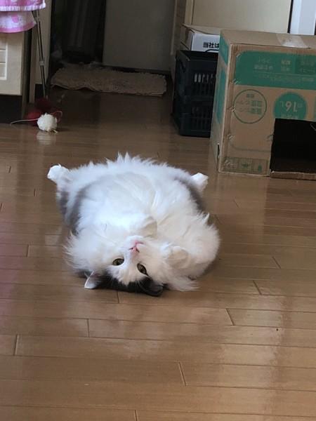 仰向けでゴロンする猫