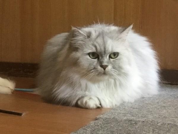 猫 チンチラペルシャ 姫の写真