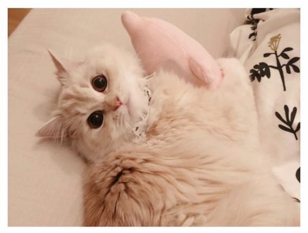 猫 ミヌエット しゃなの写真
