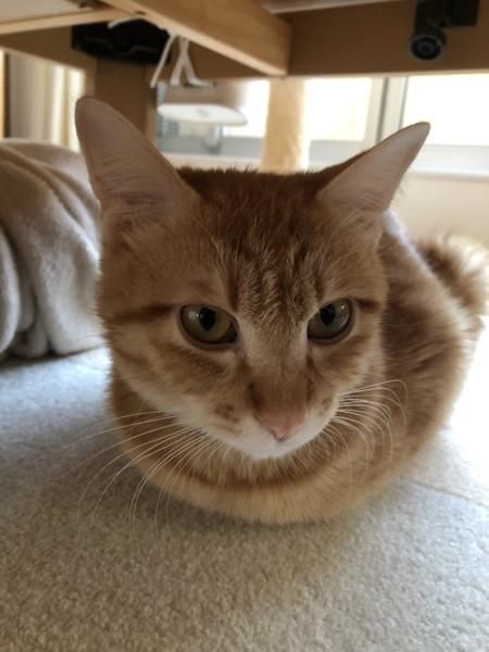 猫 茶トラ 幹太の写真