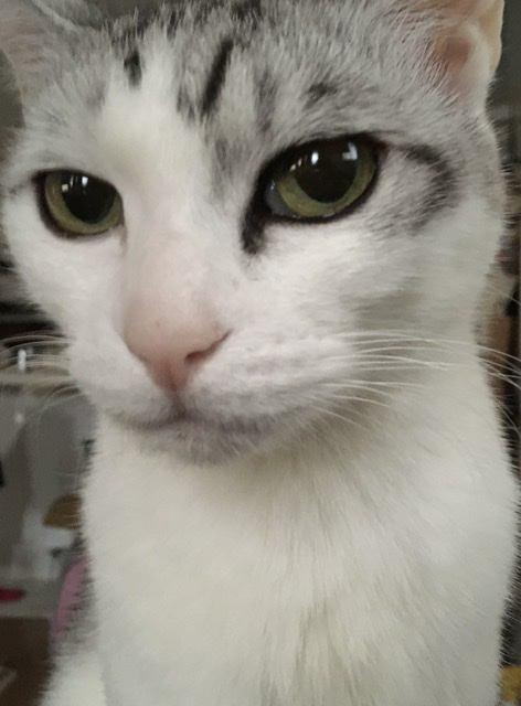 猫 サバシロ もーしゃんの写真