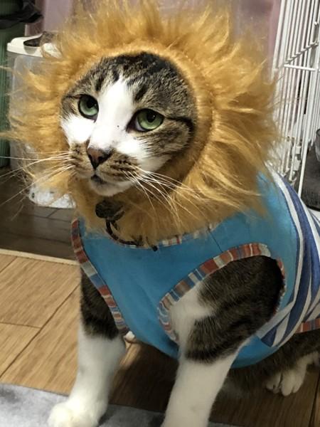 猫 キジシロ にゃーの写真