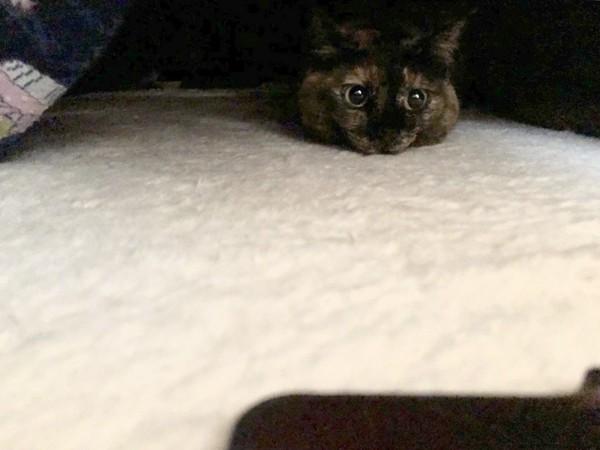 こたつから顔を覗かせる猫
