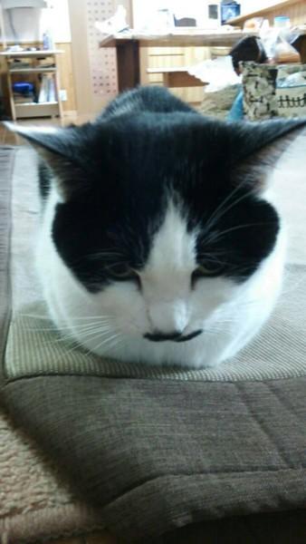 猫 雑種(ミックス) ミツの写真
