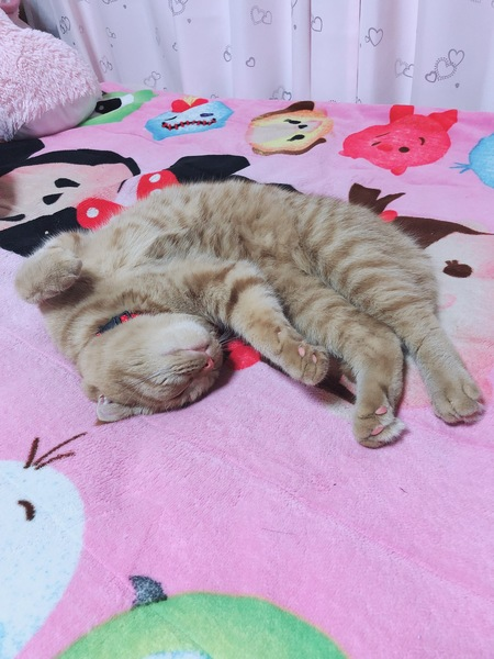 猫 スコティッシュフォールド モモの写真