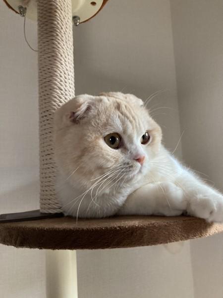 猫 スコティッシュフォールド ムギの写真
