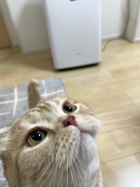猫 スコティッシュフォールド ひまわりの写真