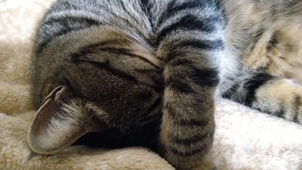 猫 キジトラ みーすけの写真