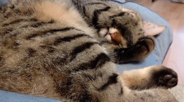 猫 キジトラ ゴンの写真