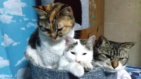猫 雑種(ミックス) さくらの写真