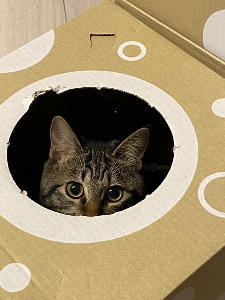 猫 キジトラ きぃちゃんの写真