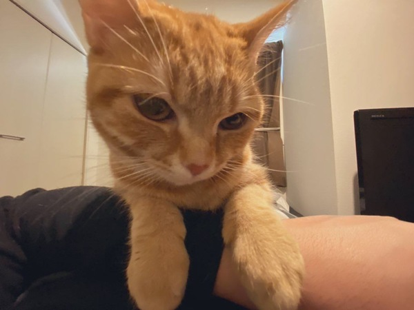 猫 スコティッシュフォールド みかん🍊の写真