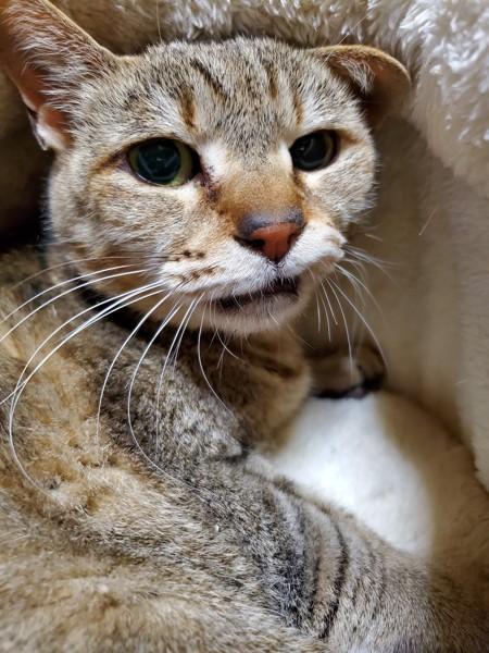 猫 雑種(ミックス) こにょの写真