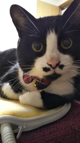 猫 雑種(ミックス) 虎太郎の写真