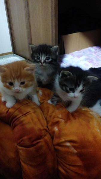 猫 ラガマフィンとキジトラのミックス 考え中の写真