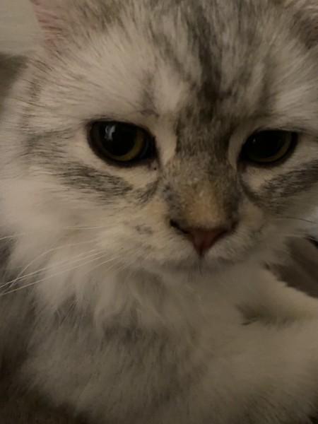 猫 セルカークレックス メルルの写真