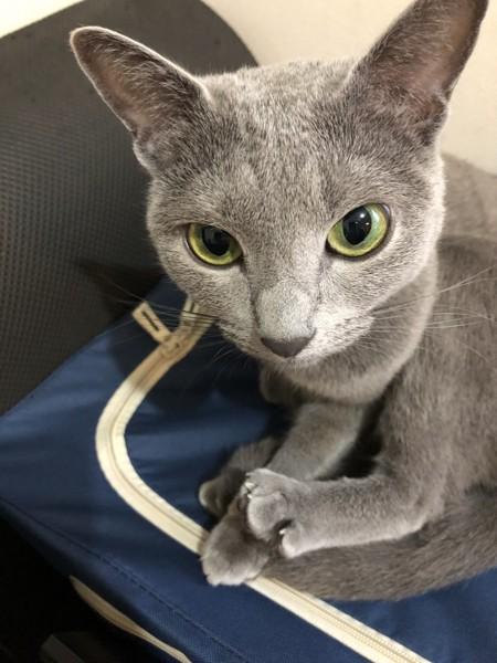 猫 ロシアンブルー ぺぐぞー🐈の写真