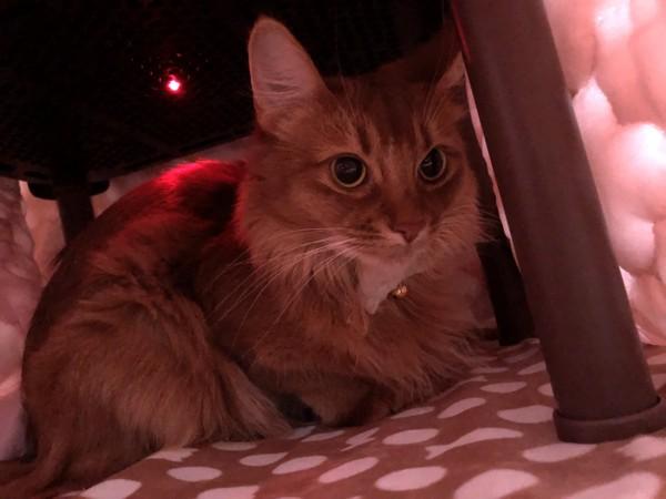 猫 ソマリ レックスの写真