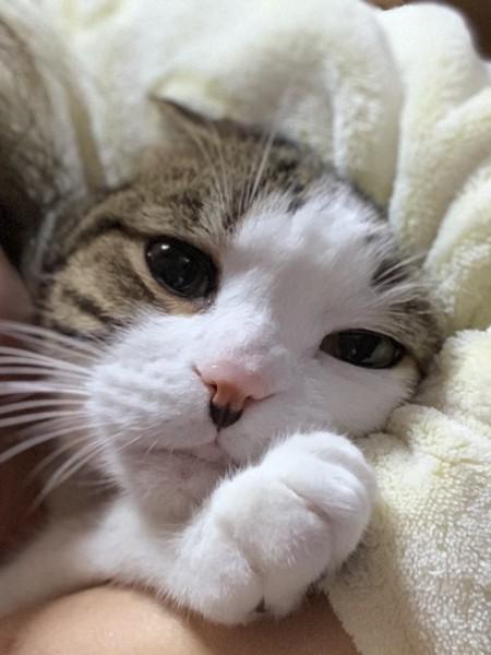猫 スコティッシュフォールド アポロの写真